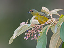 Tanagers, Cardinals and Their Allies